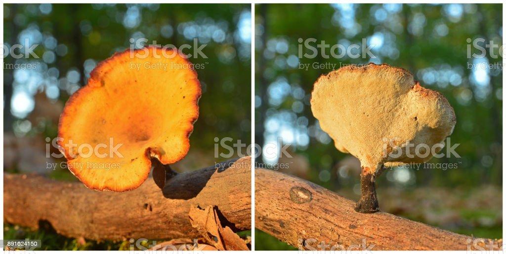 polyporus varius mushroom stock photo