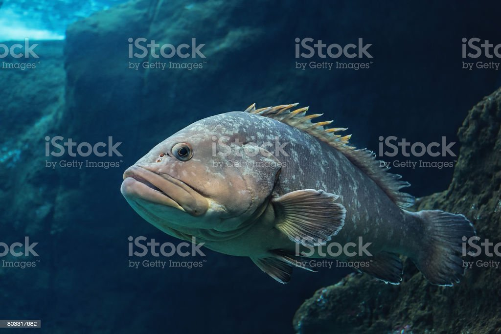 Polyprion americanus, Wreckfish stock photo