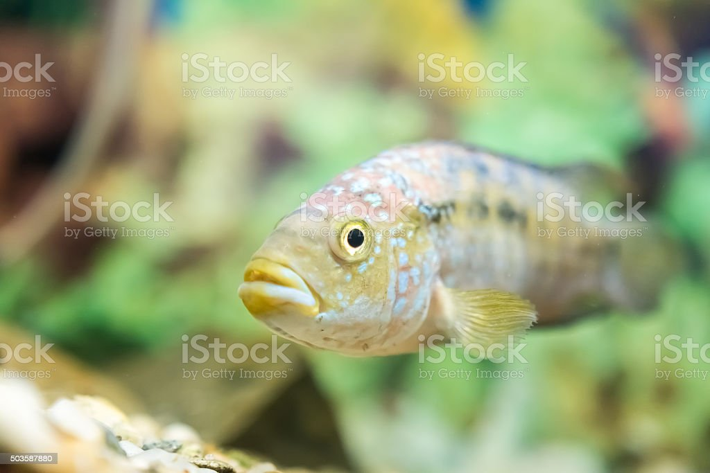 Polypterus Senegalus Fish stock photo
