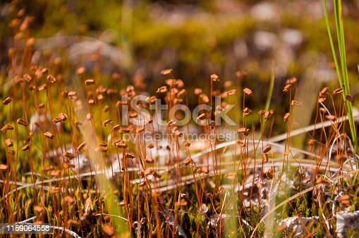Polytrihum ordinary. Brown moss like a carpet on the ground under feet in the forest. Kukushkin flax in macro