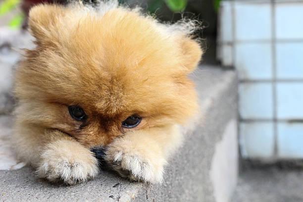 pom pom was waiting for his owner - zwergspitz stock-fotos und bilder