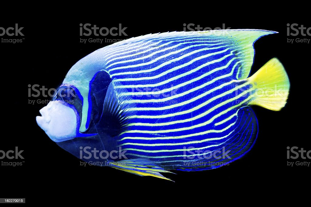 Pomacanthus imperator - emperor angelfish stock photo