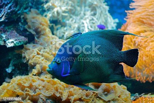 Pomacanthus semicirculatus, Koran Angelfish, nature water habitat. Blue water with beautiful yellow blue fish. Animal in sea water. Krea, Indian ocean, Asia.
