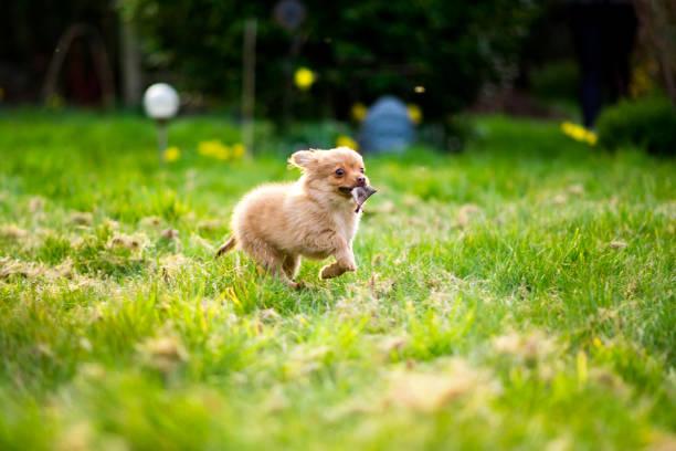 chiot chien de pom-chi qui traverse le jardin (chihuahua poméranien) - chihuahua chien de race photos et images de collection