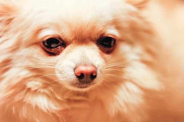 Pomchi Face Close-Up stock photo