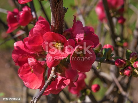 beautiful blossom in early spring, the fruit is very rich in vitamins c.