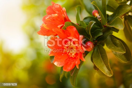 Pomegranade flower