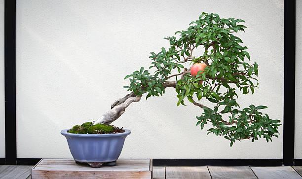 Árbol bonsái de granada - foto de stock