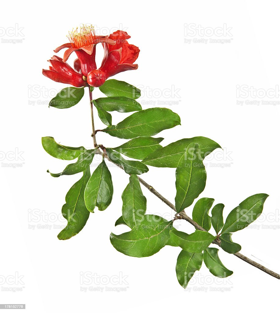 Pomegranate branch with flower stock photo