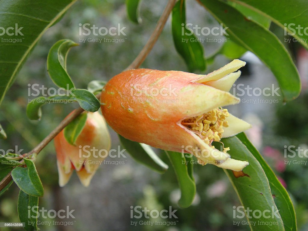 pomegranate flower becoming fruit royalty-free stock photo