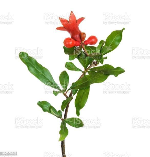 Granatäpple Blomma Isolerad På Vit Bakgrund-foton och fler bilder på Bildbakgrund