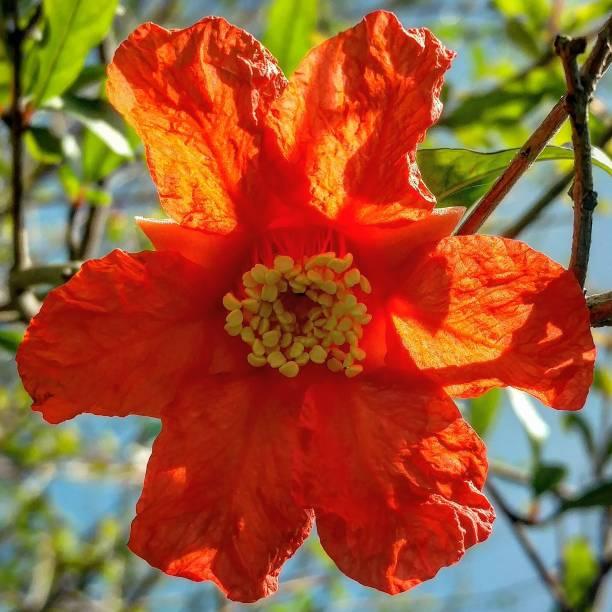 Pomegranate Flower stock photo