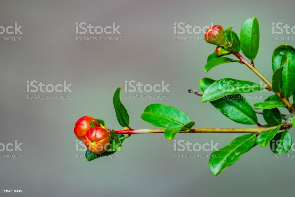 pomegranate flowers on tree branches and green leaves in nature royalty-free stock photo
