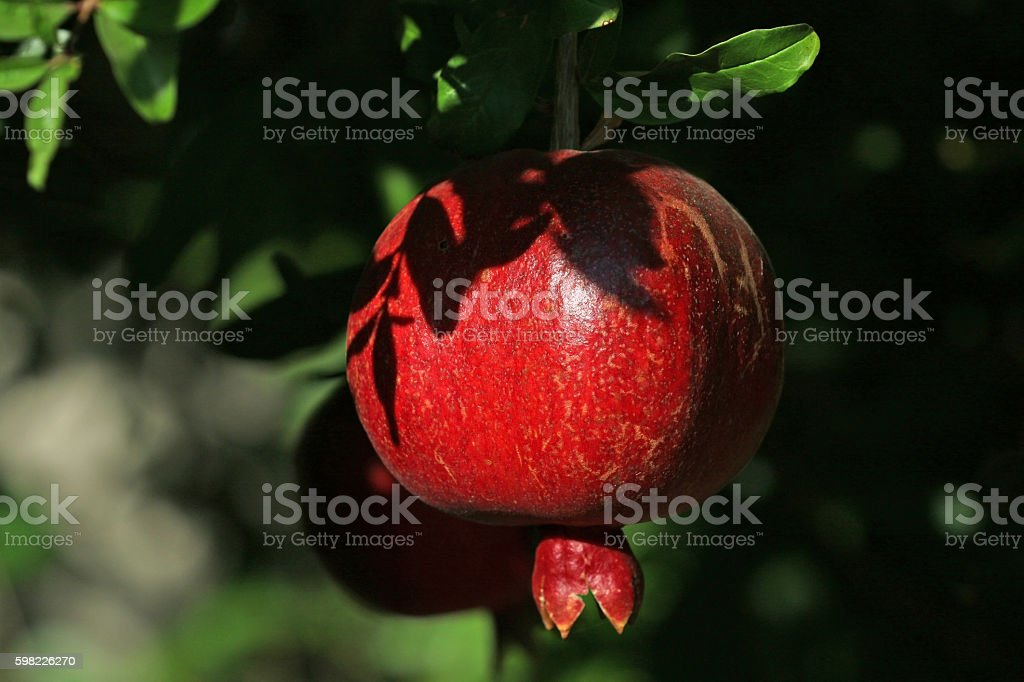 Pomegranate fruit growing ripe outdoors foto royalty-free