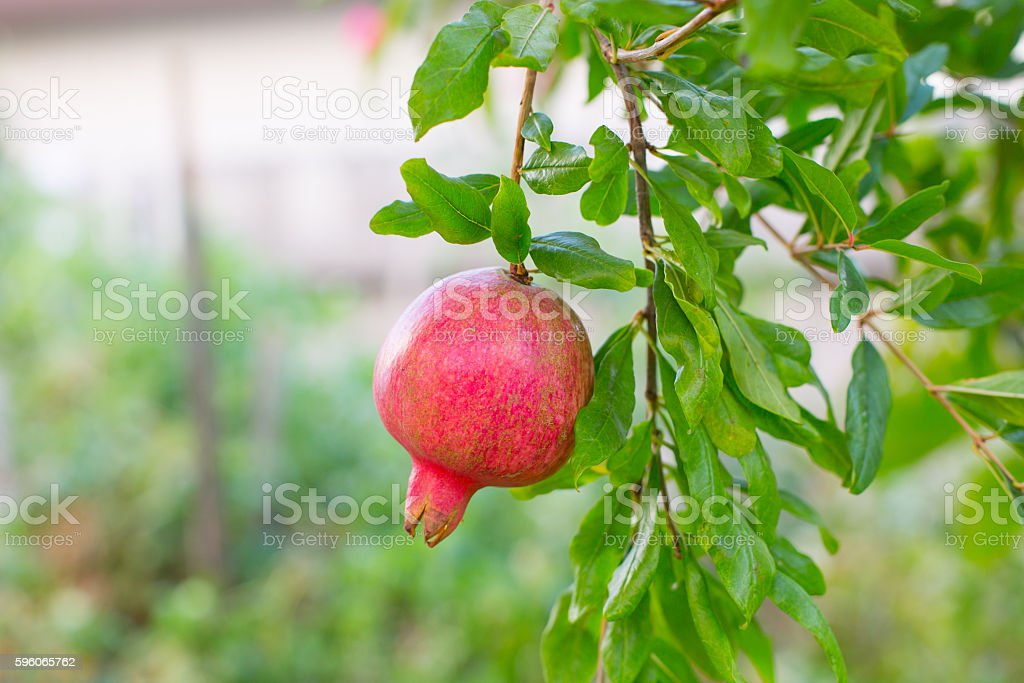 Pomegranate fruits on the tree with green leaves royalty-free stock photo