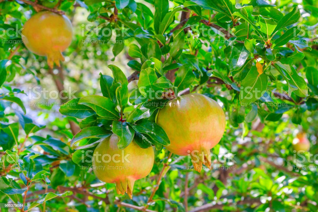 Pomegranate Green Tree With A Fruit In Sunny Garden Stock Photo ...