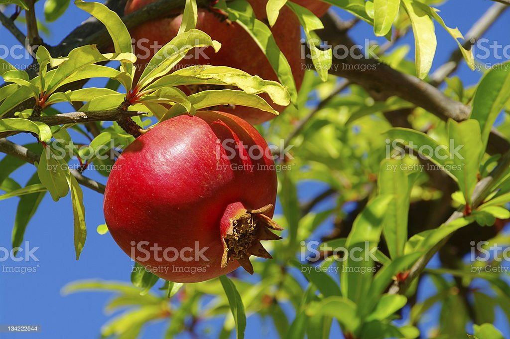 A pomegranate hanging from a tree stock photo