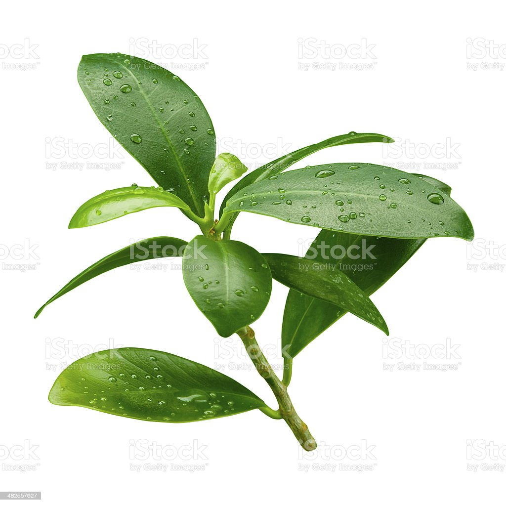 Pomegranate leaf. Wet branch isolated on white background stock photo