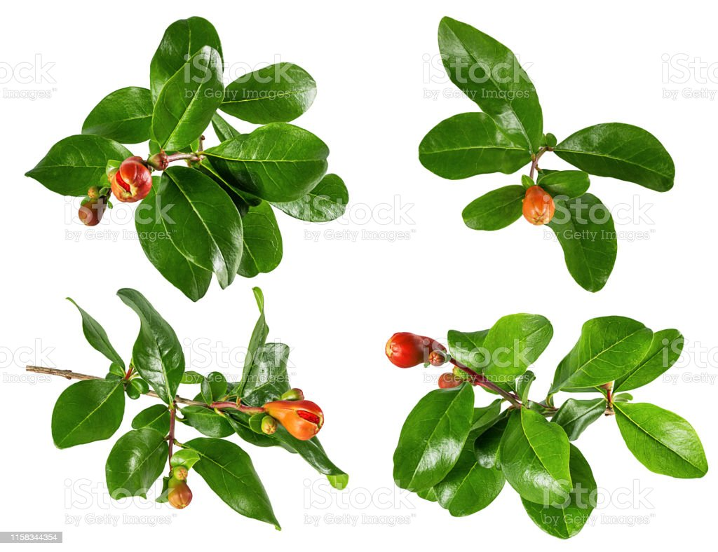 Pomegranate Leaves And Flowers Isolated On White Background With Clipping Path Stock Photo Download Image Now Istock