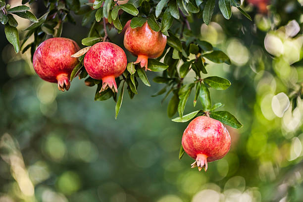 pomegranate - pomegranate stock photos and pictures