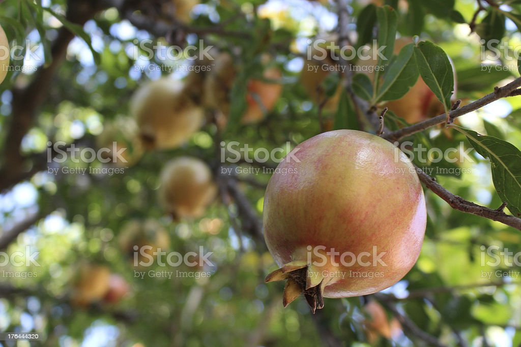 Pomegranate Tree with fruit stock photo