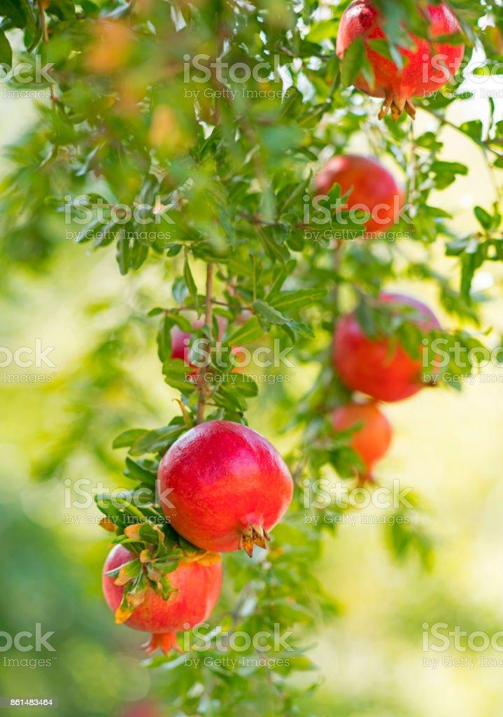 Árvores de romã - foto de acervo