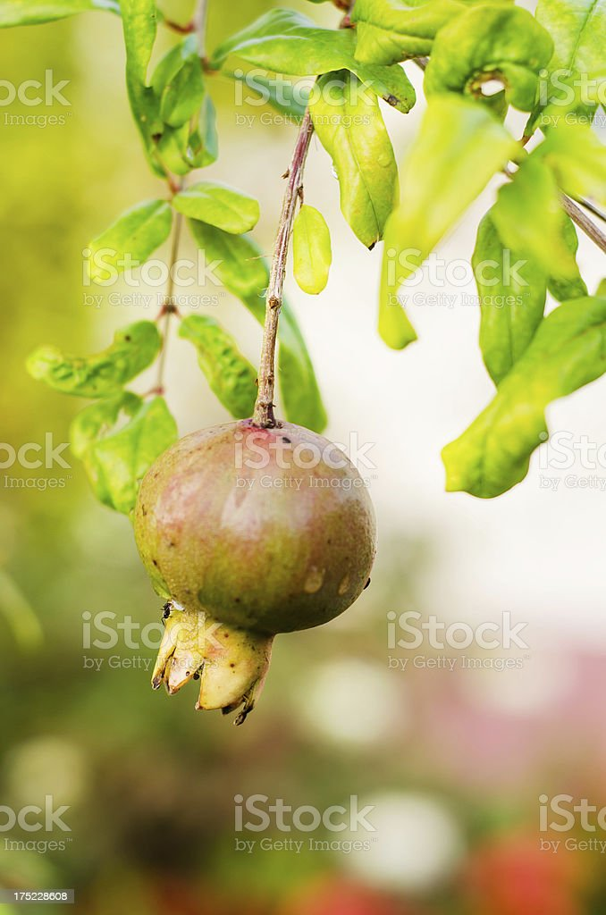 pomegrante on tree royalty-free stock photo