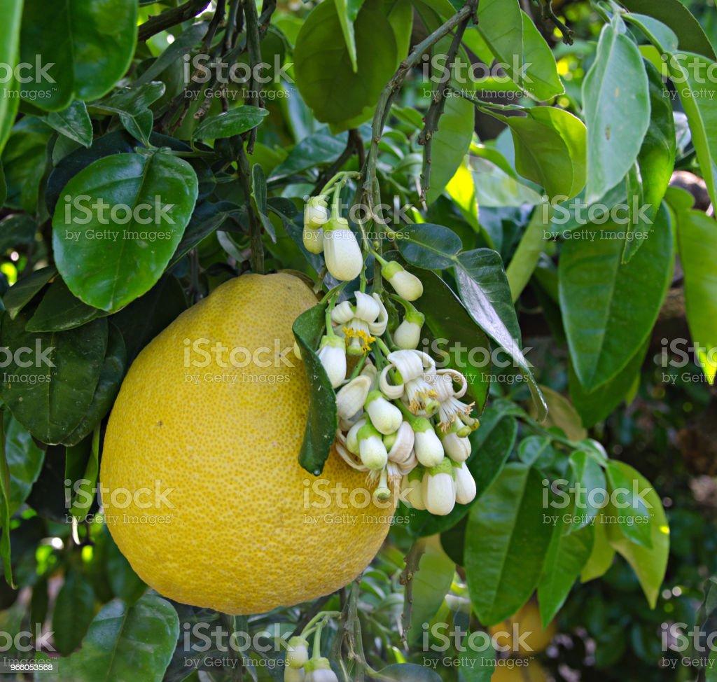 Pomelo frukt och blommor - Royaltyfri Blomma Bildbanksbilder