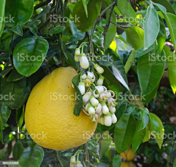 Pomelo Frukt Och Blommor-foton och fler bilder på Blomma