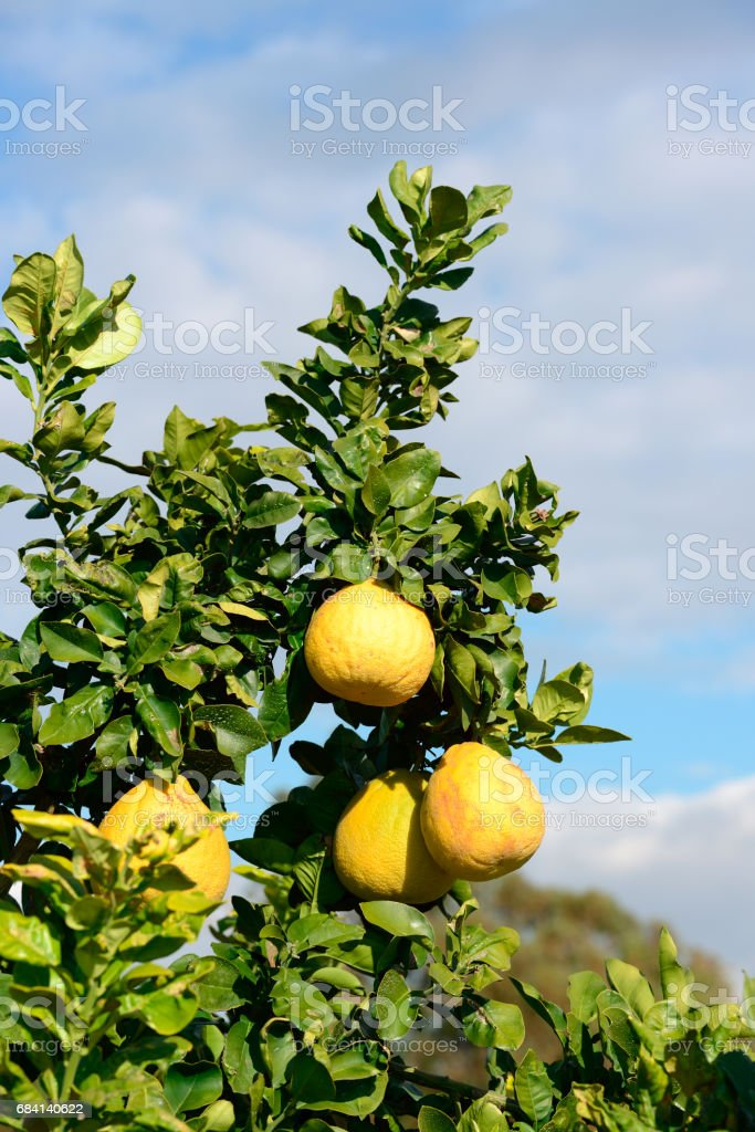 Pomelo fruit on the tree foto stock royalty-free
