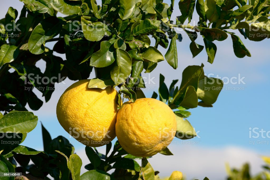 Pomelo fruit on the tree royalty free stockfoto