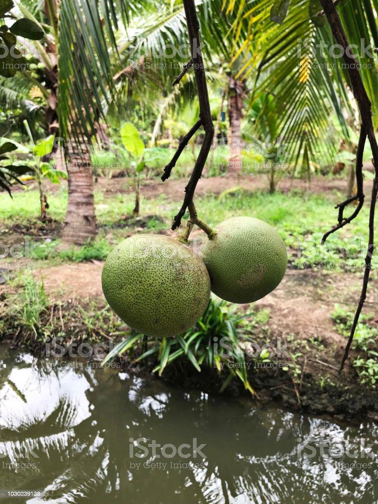 Pomelo or Citrus maxima or Citrus grandis produce the fruit. stock photo