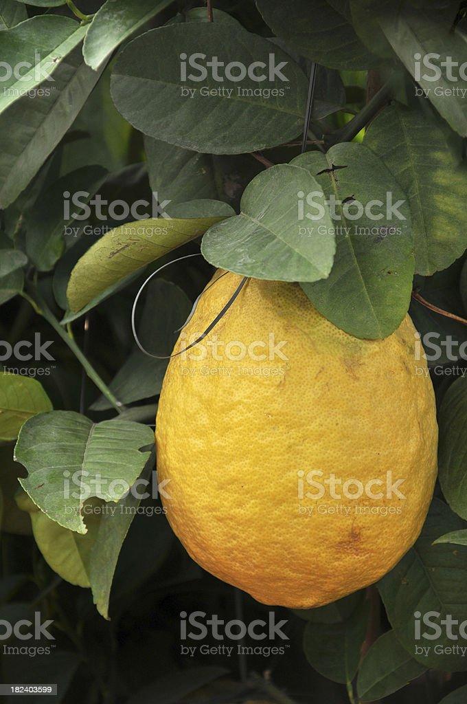 Pomelo / Shaddock Tree stock photo