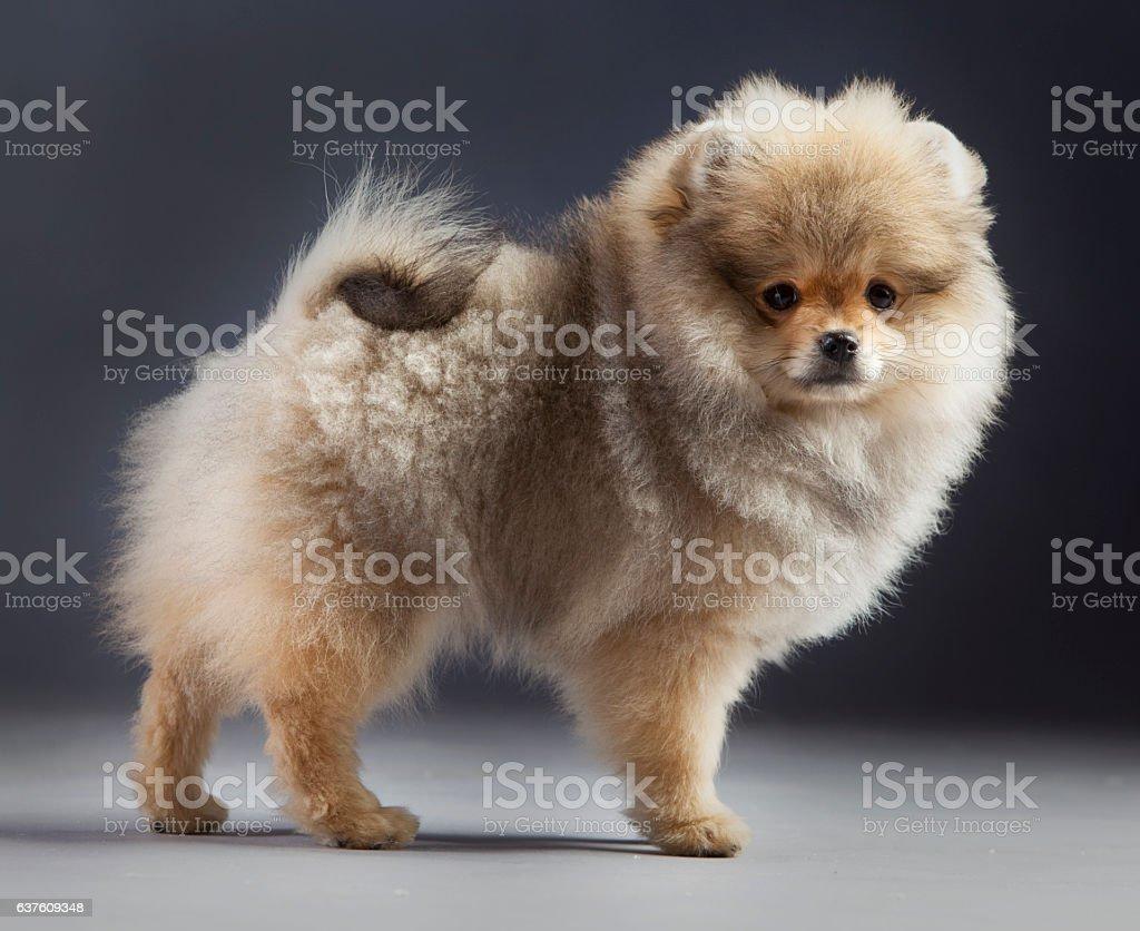 pomerania puppy portrait stock photo