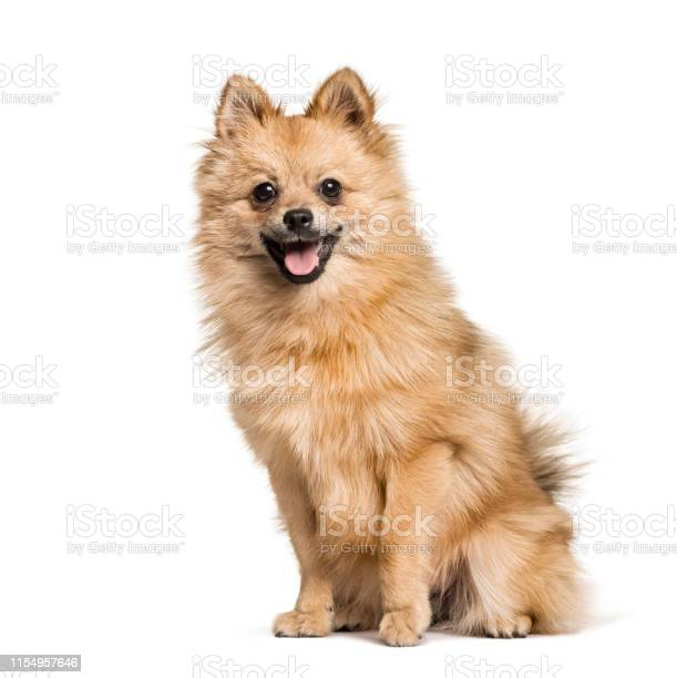 Pomeranian 7months sitting against white background picture id1154957646?b=1&k=6&m=1154957646&s=612x612&h=der ygxbqlkyjzbkpgytk3laodaoexuypbp poh0jqg=