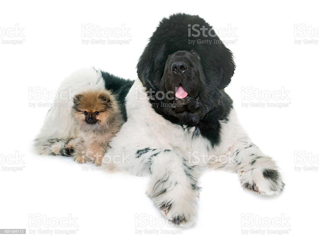pomeranian and newfoundland dog stock photo