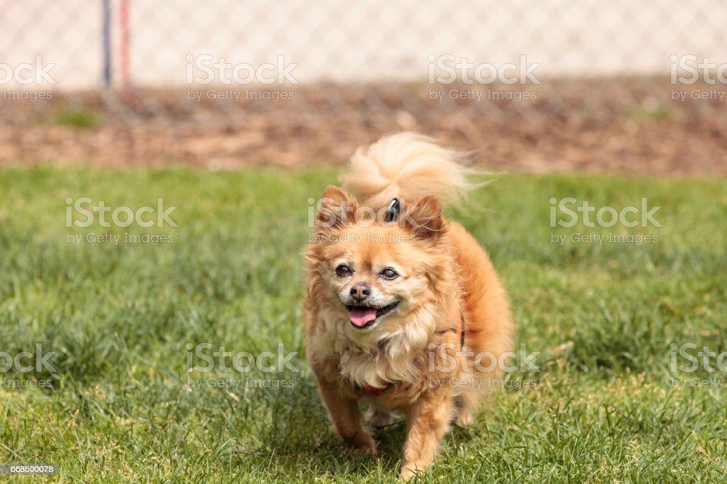 Pomeranian Chihuahua Mix Dog Stockfoto Und Mehr Bilder Von Alter