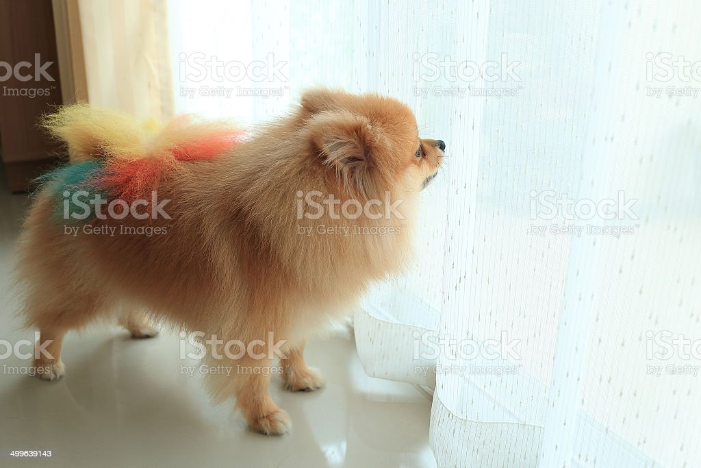 pomeranian dog alone in home royalty-free stock photo
