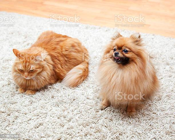 Pomeranian dog and cat sitting on the carpet picture id178623743?b=1&k=6&m=178623743&s=612x612&h=y xiqrjkaz7oo4mkql43lmfaxixhkdeanqewmuqyeiq=