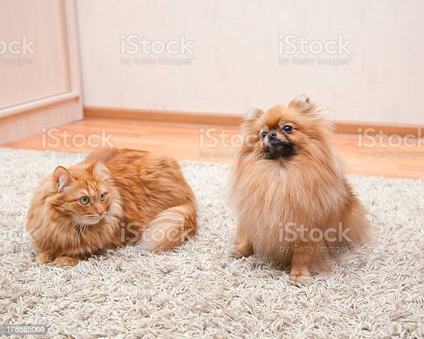 Pomeranian dog and red cat sitting on the carpet picture id178585066?b=1&k=6&m=178585066&s=612x612&h=w8qptx6eeb51ce79qxaeyuexqhuwhcjy9rhfova5ycy=