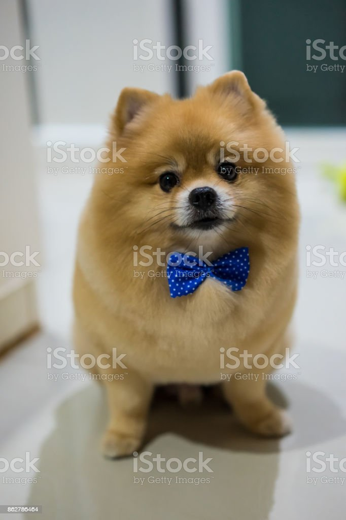 Pomeranian Dog Cute Pets Short Hair Style In Home Selective Focus Stock Photo Download Image Now Istock