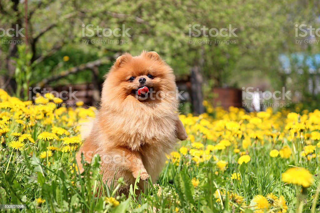 Must see Pomeranian Canine Adorable Dog - pomeranian-dog-in-dandelion-blowing-cute-beautiful-dog-picture-id530807098  Pictures_358568  .com/photos/pomeranian-dog-in-dandelion-blowing-cute-beautiful-dog-picture-id530807098