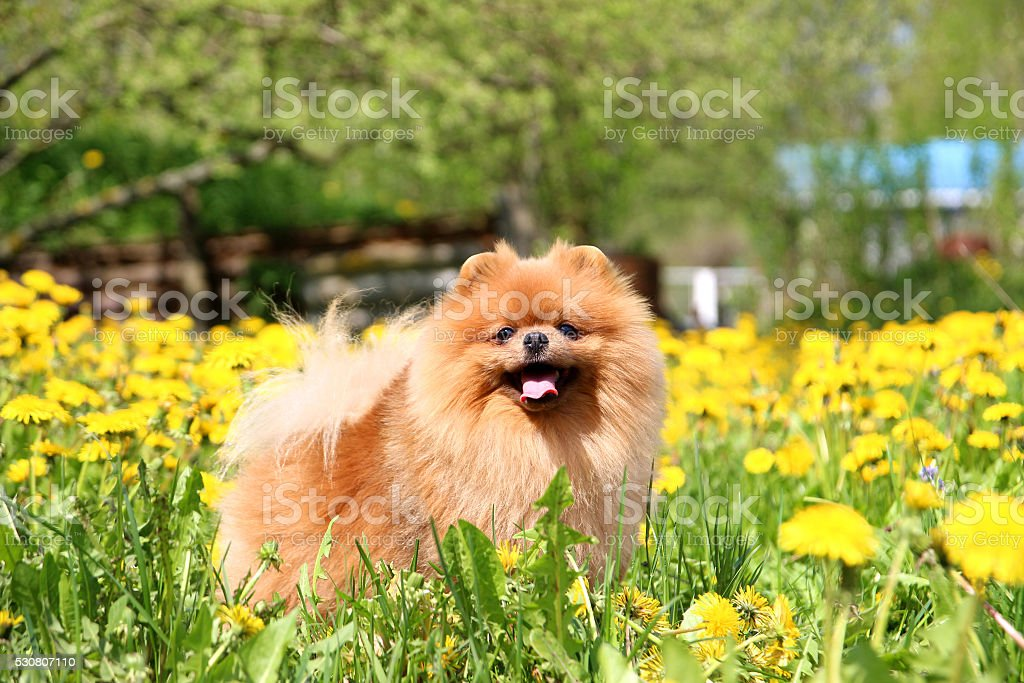 Good Pomeranian Canine Adorable Dog - pomeranian-dog-in-dandelion-blowing-cute-beautiful-dog-picture-id530807110  Picture_32562  .com/photos/pomeranian-dog-in-dandelion-blowing-cute-beautiful-dog-picture-id530807110