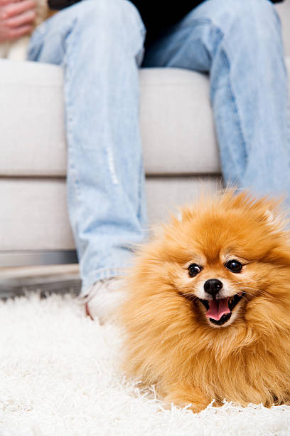 Pomeranian Dog in Front of Sofa on Soft Carpet stock photo