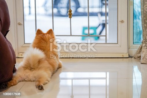 istock Pomeranian dog is waiting for someone to open the door. cute puppy dog sitting at the front door looking outside waiting someone coming back home. 1069617508