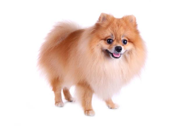 kleinspitz hund, isoliert auf weißem hintergrund, niedliche haustier im hause - zwergspitz stock-fotos und bilder