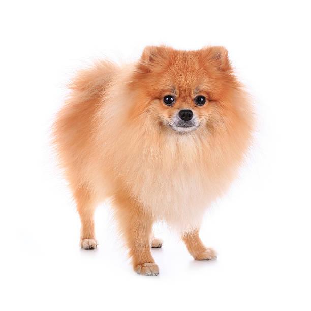 kleinspitz hund isoliert - zwergspitz stock-fotos und bilder