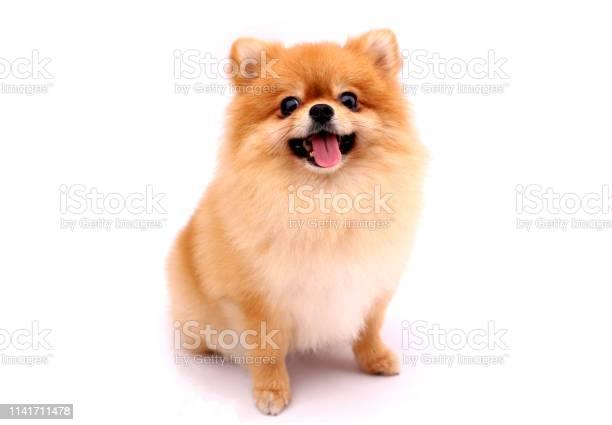 Pomeranian dog on a white background picture id1141711478?b=1&k=6&m=1141711478&s=612x612&h=6gfhn0y4k1xvewukcjkzimpbh1ykdq7pzpck37v4uj4=