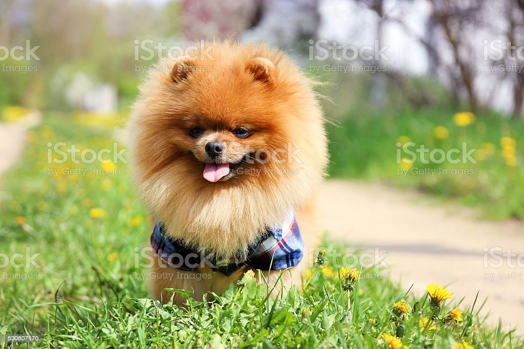 Must see Pomeranian Canine Adorable Dog - pomeranian-dog-on-countryside-road-beautiful-dog-picture-id530807170  Pictures_358568  .com/photos/pomeranian-dog-on-countryside-road-beautiful-dog-picture-id530807170