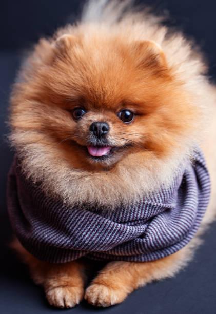 Pomeranian dog on dark background portrait of a dog in a low key picture id989511884?b=1&k=6&m=989511884&s=612x612&w=0&h=n17lqqtdzcocruduqqwkszqk3lvqy20u1iduxqeral4=